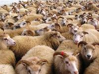 La Société Tunisienne des viandes importera