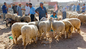 Le ministère du Commerce importera 10 000 ovins d'Espagne pour les besoins de l'Aïd el Idha