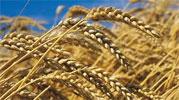 La récolte céréalière de la Tunisie a chuté de 47 pour cent cette année