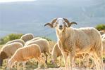 Une commission spécialisée composée de vétérinaires du ministère de l'Agriculture et de la société Ellouhoum ainsi que d'experts