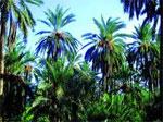 Plus de 100 palmiers ont été dévastés suite à un incendie qui s'est