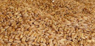 La Tunisie de retour sur le marché mondial du blé